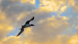 Loon In Flight At Sunset 20140705