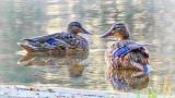 Ducks At Dawn 20140717