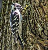 Downy Woodpecker DSCF16782