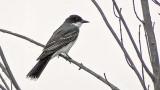 Perched Kingbird 20140723