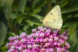 Yellow Butterfly DSCF17532