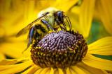 Bee On A Black-eyed Susan DSCF17324
