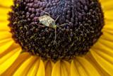 Bug On A Black-eyed Susan DSCF17339