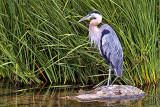 Heron On A Rock DSCF17750