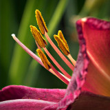 Lily Closeup DSCF17451