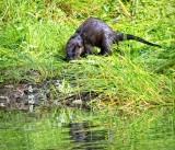 Wet Otter DSCF18070
