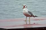 Squawking Gull DSCF17918