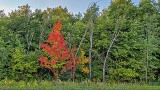 More Premature Autumn Color 20140829