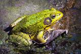 Bullfrog On A Leaf DSCF17577