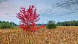 Lone Red Tree 20140921
