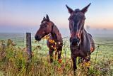 Equine Pals At Sunrise P1100905