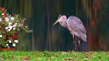 Canalside Heron 20141014