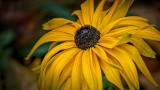 Elderly Black-eyed Susan 20141021