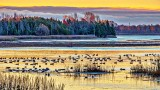 Gathering Of Migrating Geese At Sunrise 20141030
