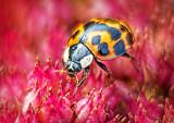 Ladybug Closeup P1020178