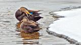 Preening Duck DSCF00363
