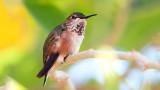 Hummingbird 76634