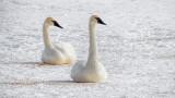 Swans On Ice 20150219