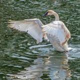 Stretching Swan DSCF0564-2
