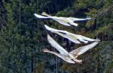 Three Swans Flying DSCF0604