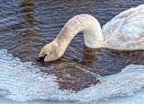 Swan Under Ice DSCF0598