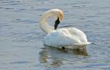 Preening Swan DSCF0555