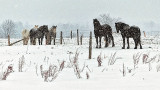 Equine Pals In Snowfall 20150307