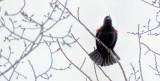 Red-winged Blackbird Singing DSCF00800