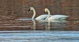 Two Swans Aswimming DSCF18719