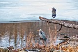 Two Herons Together 20150402