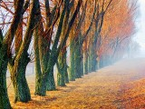 Row Of Poplars At Sunrise DSCF00916