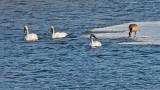 Three Swans & A Goose DSCF18797