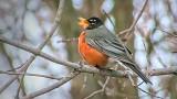 Singing Robin DSCF19016