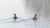 Retreating Geese P1100045