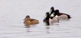 Four Ring-necked Ducks DSCF19087