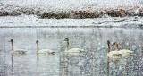 Swans In Snowstorm DSCF18928