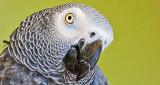 Grey Parrot Closeup 20150411