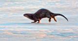 Otter On Ice At Sunrise 20150412