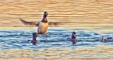 Ring-Necked Ducks At Sunrise 20150413