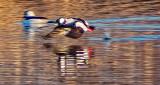 Bufflehead Taking Flight At Sunrise DSCF19318