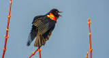 Red-winged Blackbird Singing 20150414