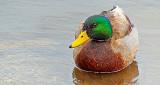 Wet Duck 20150420