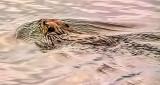 Swimming Beaver At Sunrise 20150422