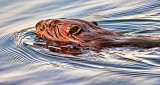 Swimming Beaver 20150425