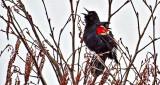 Red-winged Blackbird Singing DSCF19713