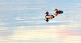 Mr & Mrs Ring-necked Ducks P1100984