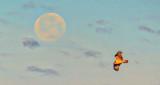 Moon & Osprey At Sunrise P1110591