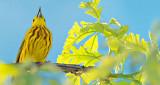Warbler Warbling P1110947