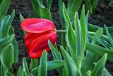 Tired Tulip P1120100-2