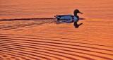 Swimming Duck At Sunrise P1120327